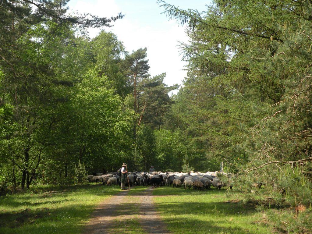 jetztaberlos-tour, hier in der Wulmstorfer Heide einer Schafherde begegnet
