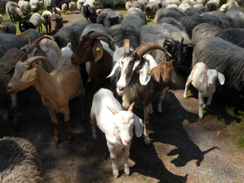 jetztaberlos-tour, wir mitten drin zwischen Ziegen und Schafen